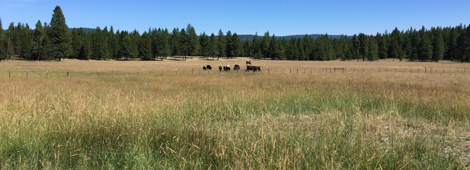 cows in the distance, in a pasture with a forest on the horizon