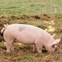 A pig grazing in a pasture