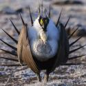 A male sage grouse