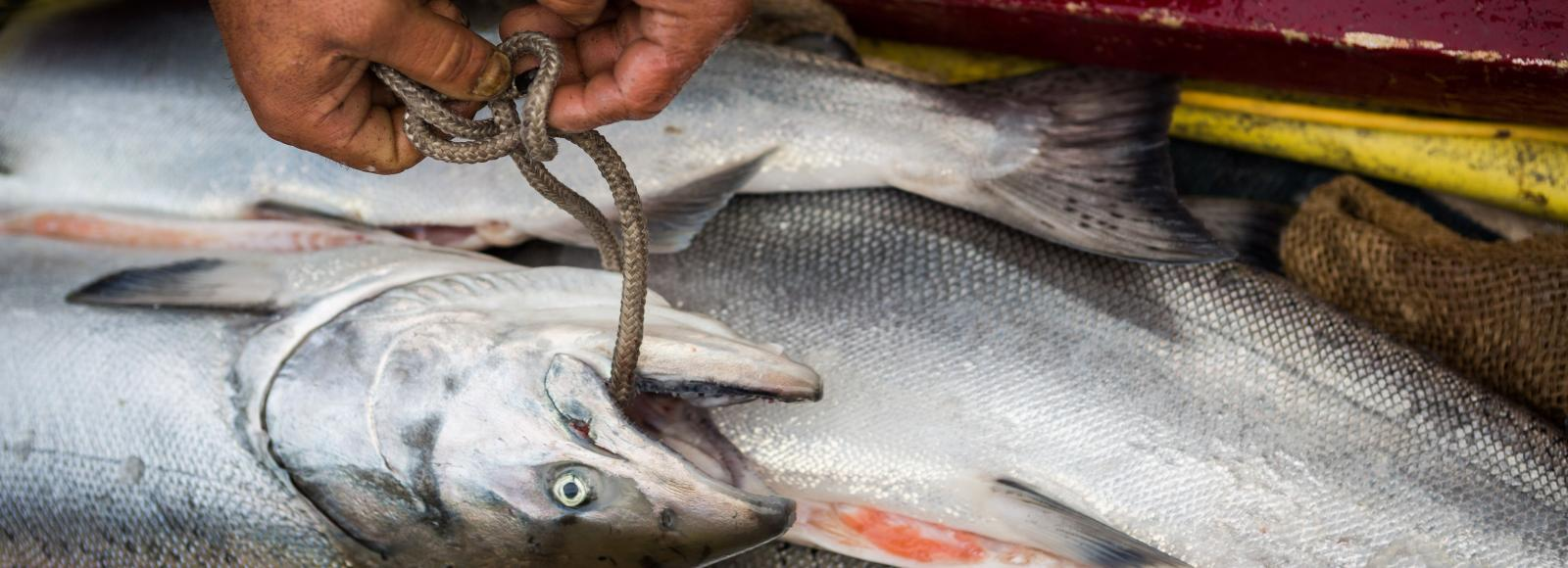 A fisherman's hands ties a line through a salmon's moutn