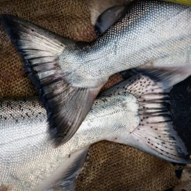 Two fish tails, California King Salmon, overlapping on top of a burlap sack