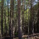 This overgrown stand of trees in Southern Oregon was part of the Lomakatsi Restoration project near Cave Junction Oregon