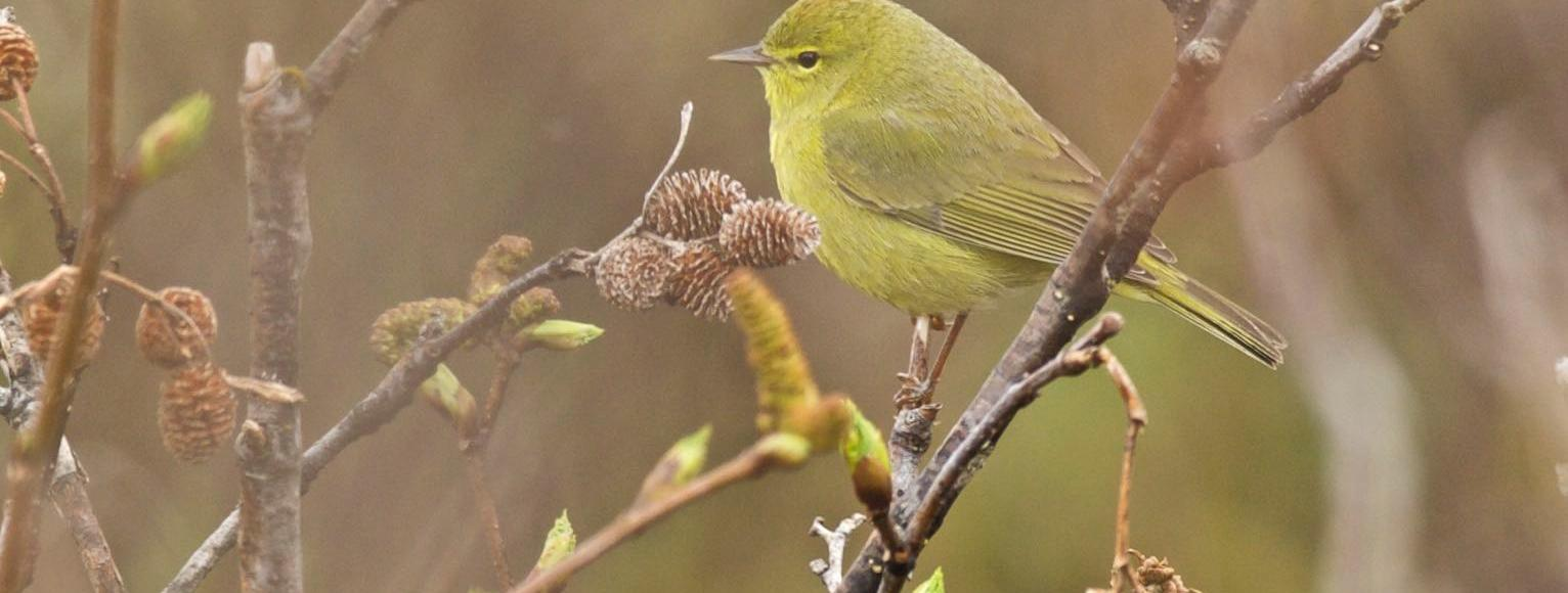 tiny yellowish bird perches on branch