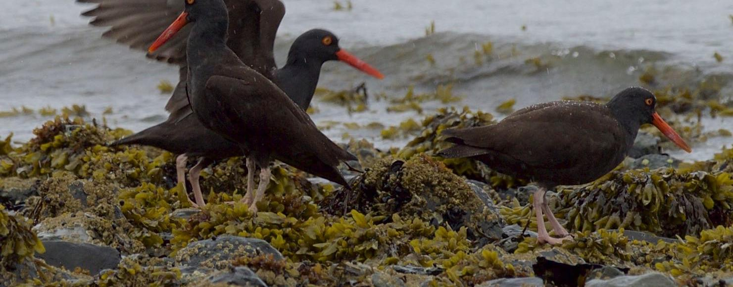 larger black birds with bright orange beaks in rocky waters