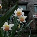 Daffodils outside the Ecotrust building