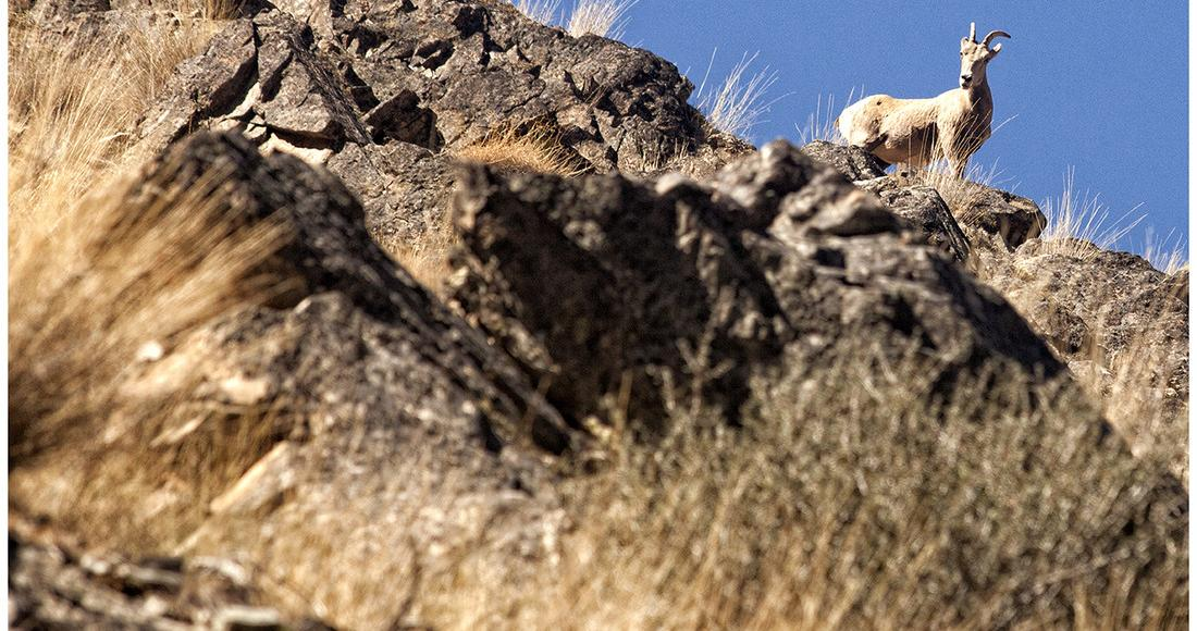 big horn sheep on rocky hillside
