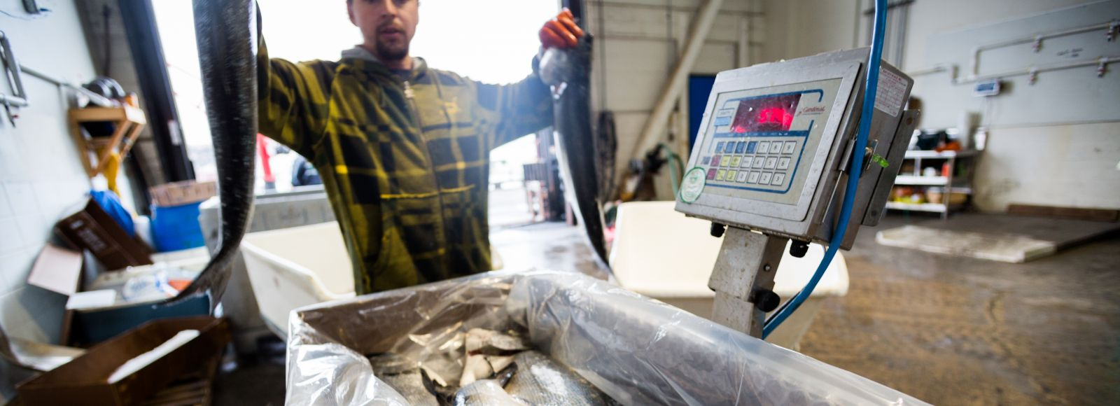 A fisherman weighs and packages fish before delivery.