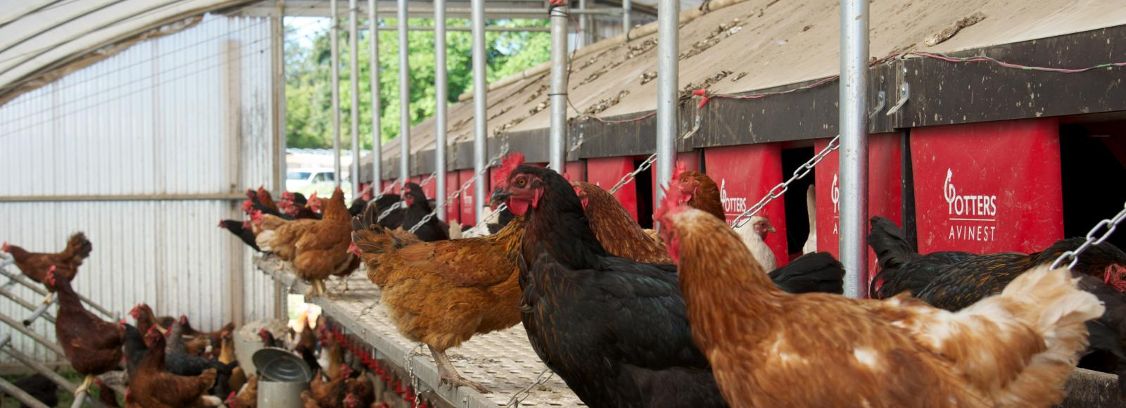 healthy hens sitting on grass on perches in a mobile hen house