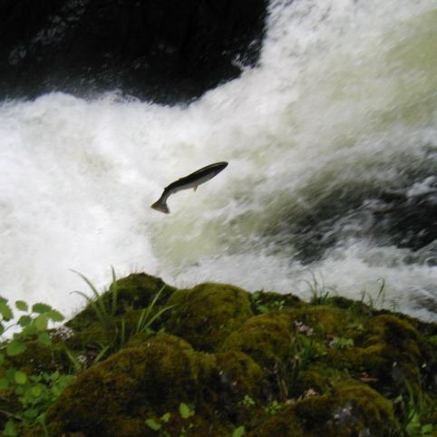 Salmon jumping up a small waterfall.