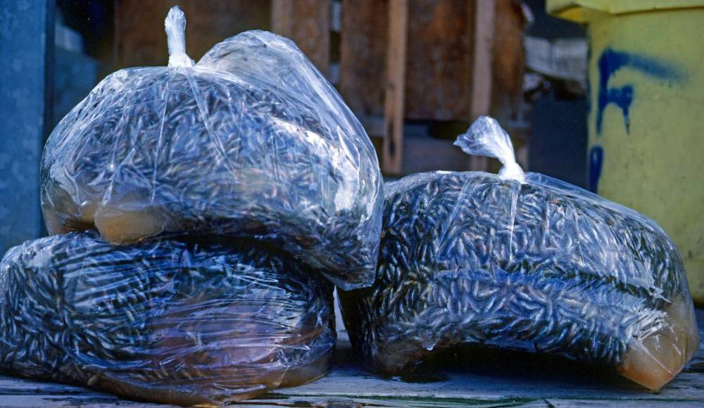 Three clear bags of dead juvenile salmon stacked