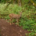 A deer makes an appearance at Tualatin Hills Nature Park, part of Metro Portland's network of nature areas. Courtesy of Intertwine Alliance.