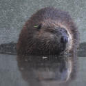 Beavers have been enlisted in restoration efforts in Methow Valley, Washington. Photo courtesy of NOAA.