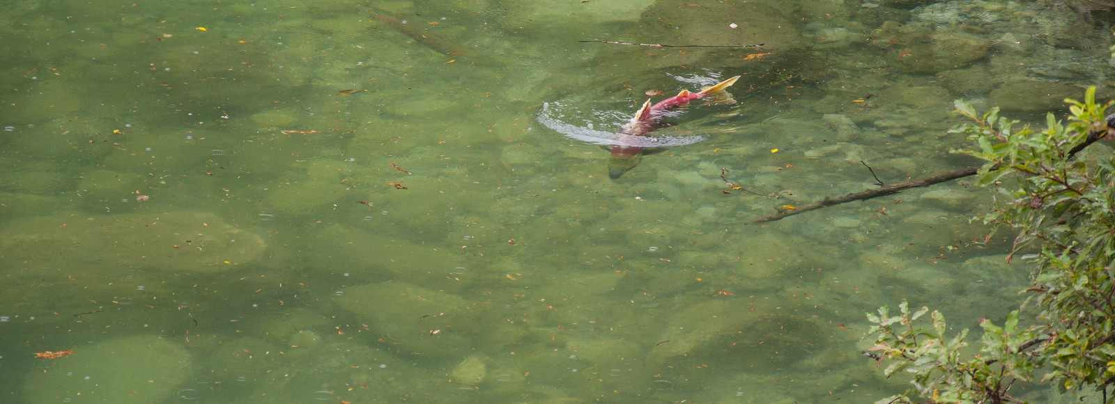 Single salmon swimming along the shore of a still green lake