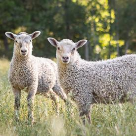 Two white lambs look toward the camera, in a grassy field with trees in the background