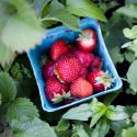 A blue pint of newly harvested strawberries sits in a garden