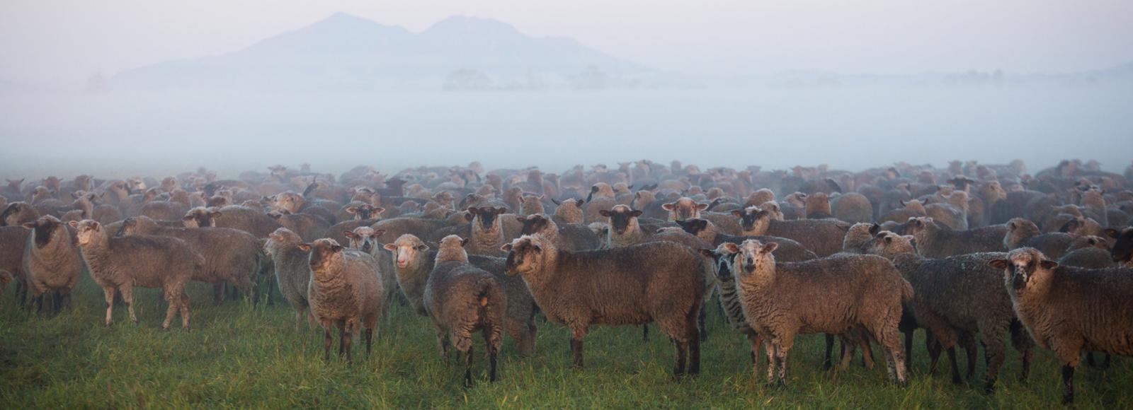 A large herd of sheep gathered in a field on a misty morning