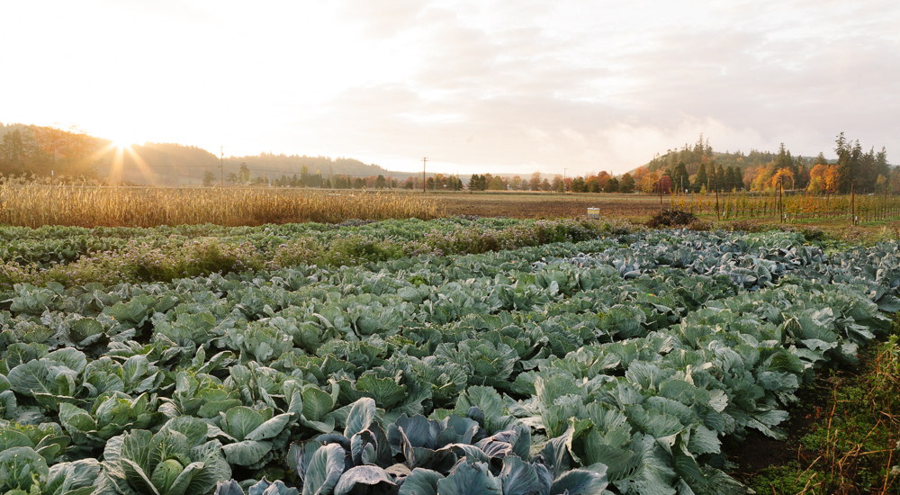golden sunlight and rows of green brussel sprouts