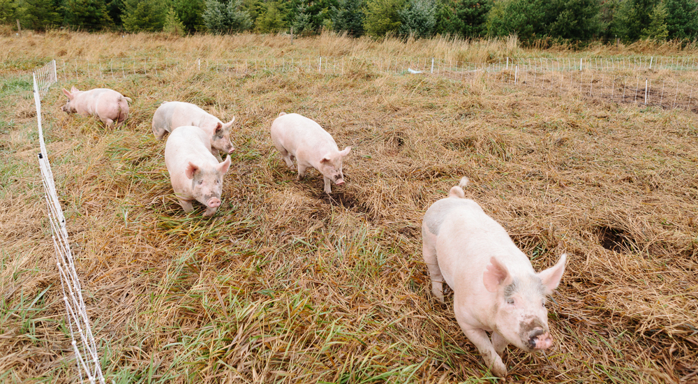 Four pink pigs run through a golden-brown field.