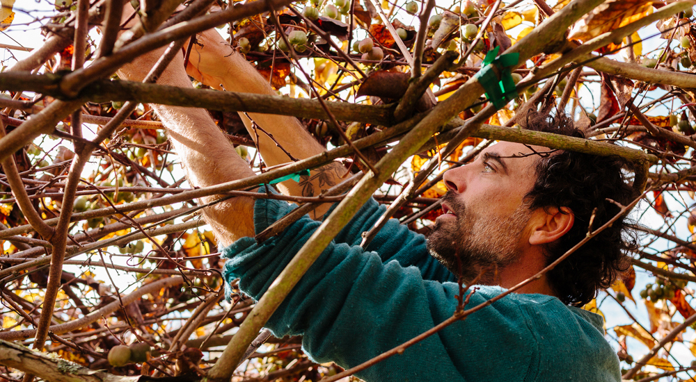 A bearded man in turquoise sweater prunes branches from golden-brown grape vines