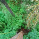 Looking down a from the top of a high tree in a beautiful green Oregon Forest. A number of brightly colored ropes hang down from the tree and pile up on the ground.