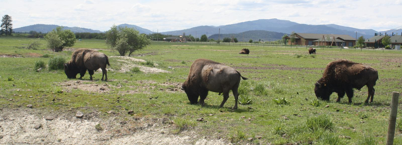 A few buffalo graze on a pasture. A couple small buildings with angled roofs are in the distance.
