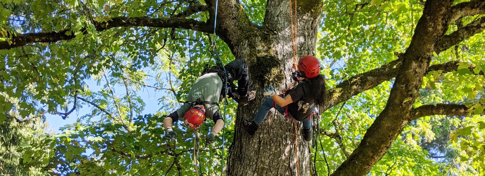 An instructor and a young person, both wearing helmets and harnesses, are attached to ropes and climbing high in a large tree