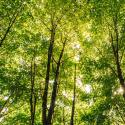 Looking up toward a canopy of leafy green trees