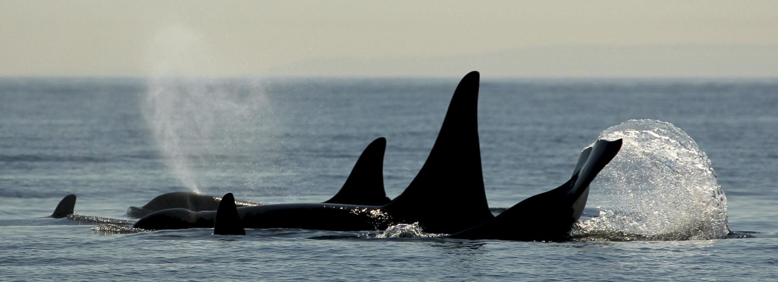 The silhouettes of the backs, fins, and a tale of a few orcas breaking the surface of the water