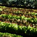 Rows of lettuce in a community garden