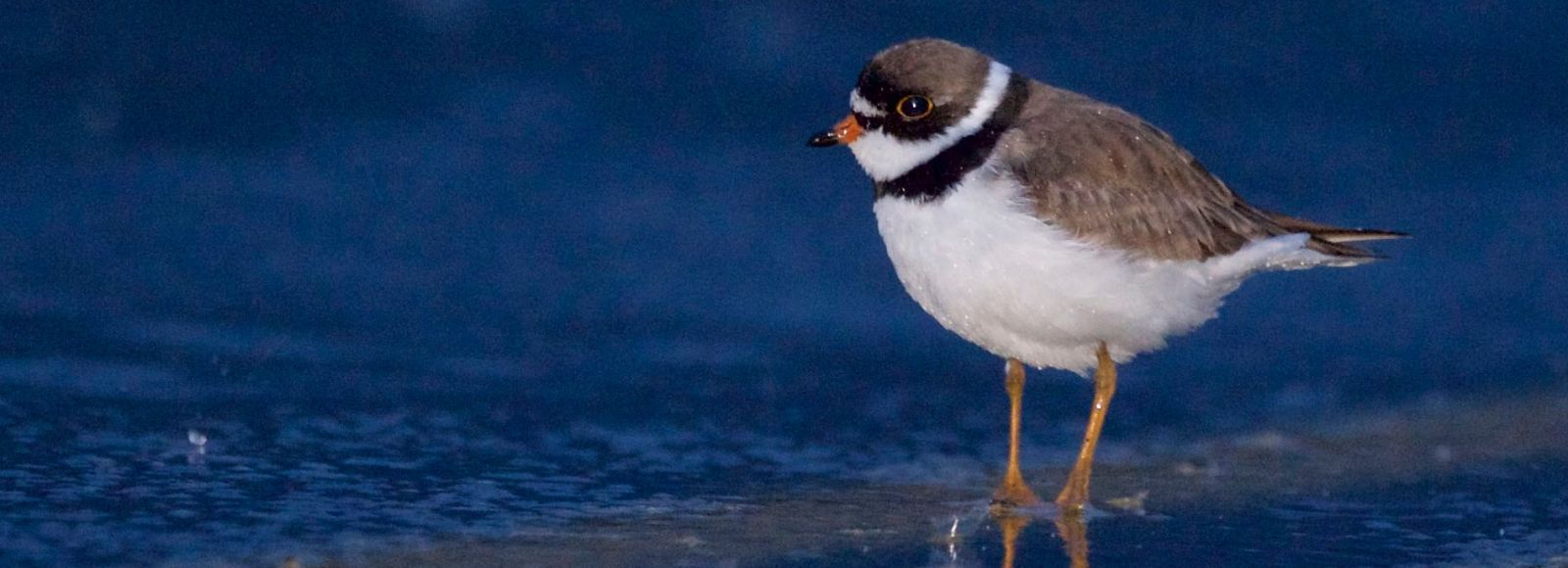 Semi-palmated plover, a tiny white-breasted brown bird with black ringlet wades in bright blue water