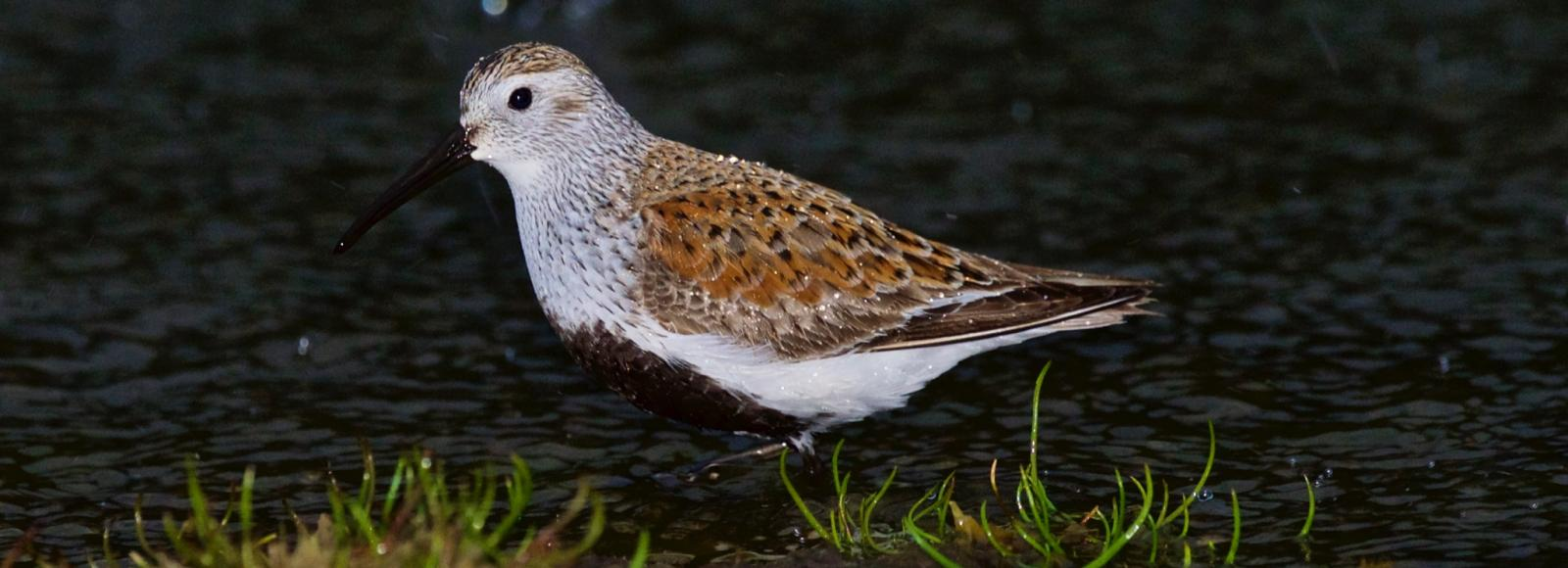 Dunlin, a small shorebird with rusty brown upper parts, pale under parts and a black belly, stands in water