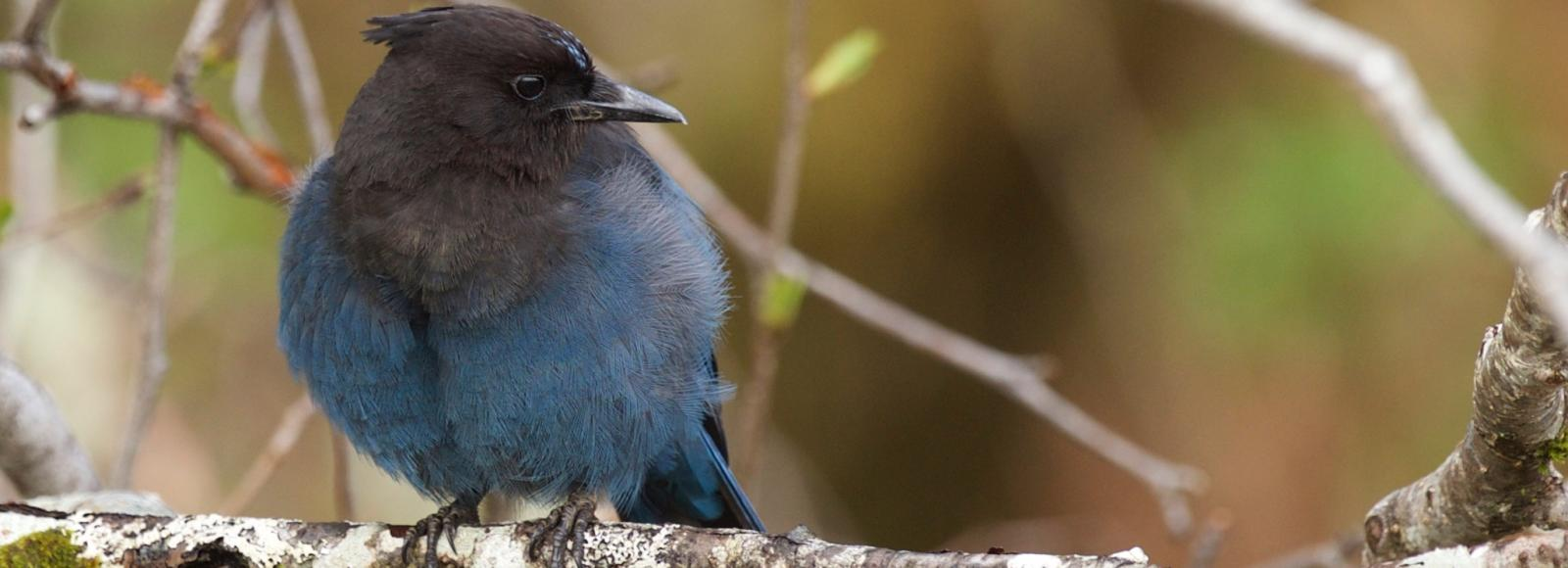 Steller's Jay, a large songbird with blue underparts and black upper parts, on a branch
