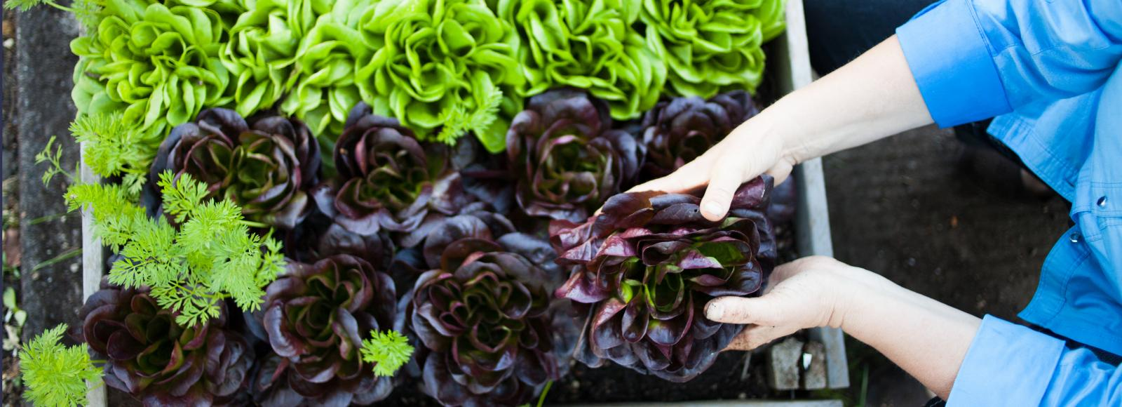 A pair of hands reach into a planter box filled with two varieties of romaine lettuce