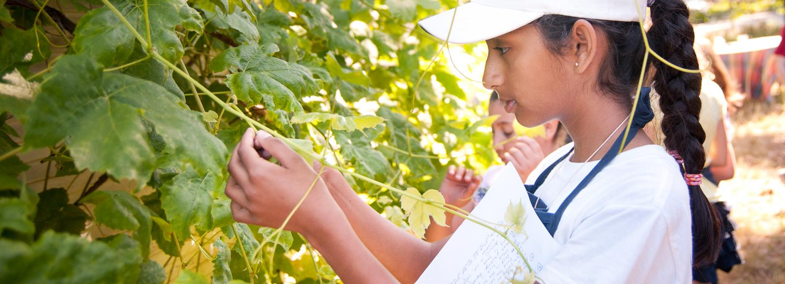 A younng girl harvests grapes from a bright green hedge at Zenger Farm.