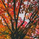 A photo angled upward toward a tree with sprawling branches. The leaves range from golden, red, and green colors.