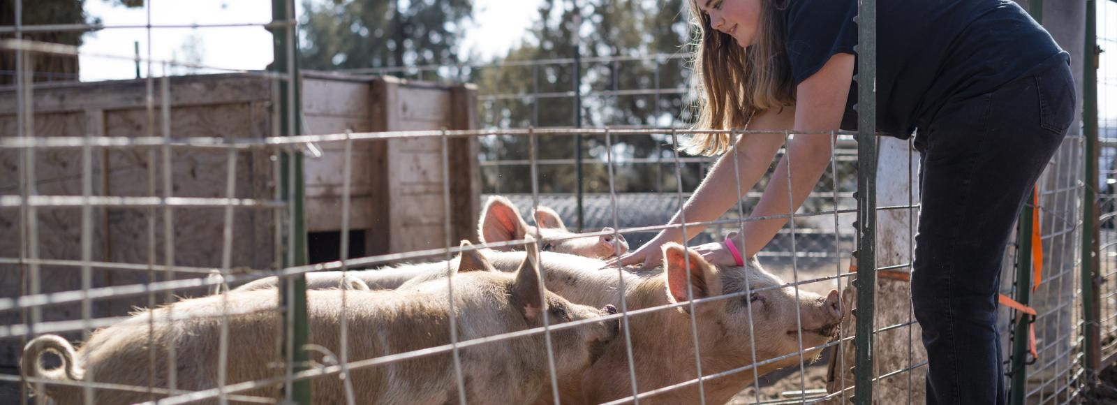 Payton North of Mountain View High School's FFA with three hogs in a pen. The FFA program raises hogs destined for the district's 29 school lunchrooms.