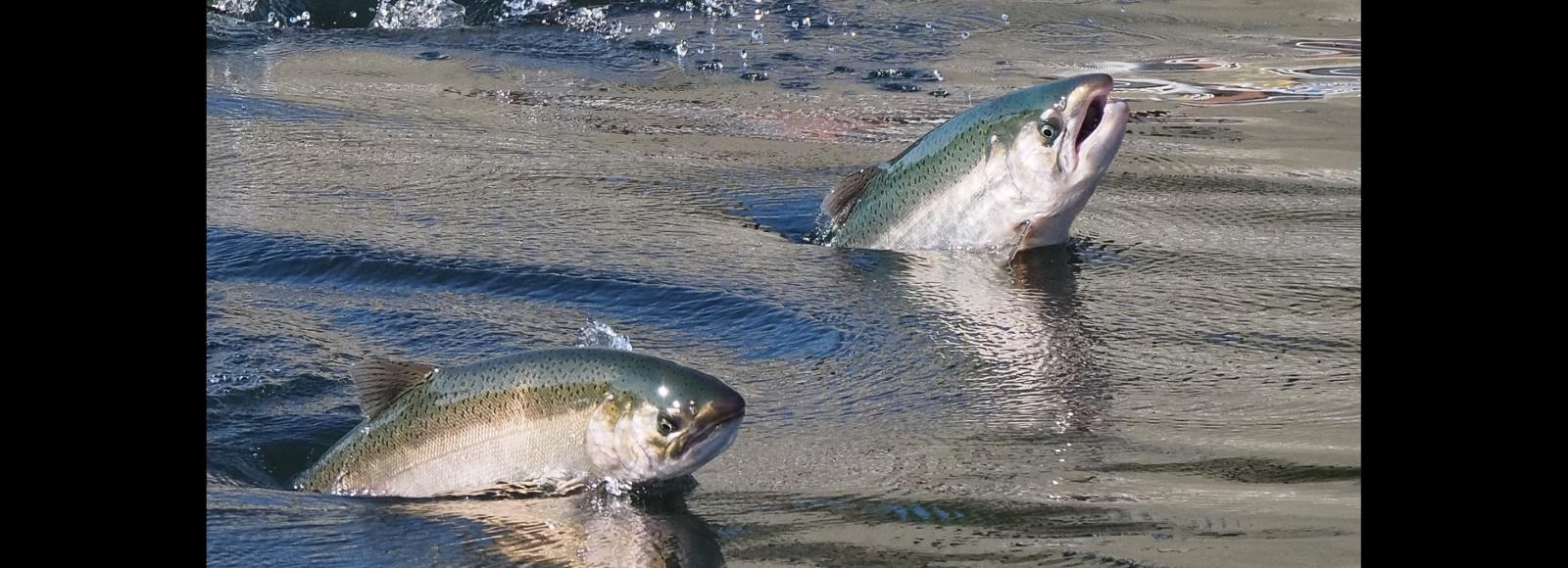 Two Chinook salmon mid-leap out of flowing water