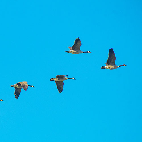 blue sky, geese flying in formation