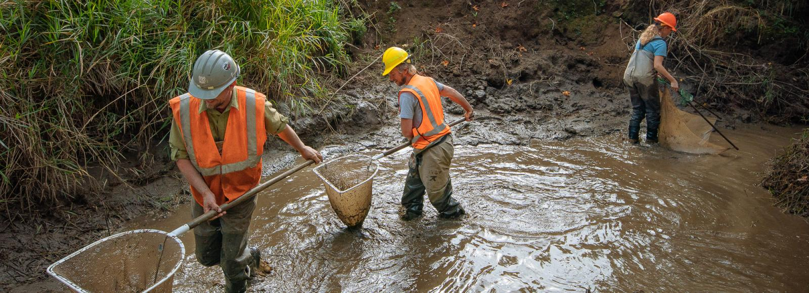 Three biologists wearing orange vests and yellow hard hats, with nets in a muddy pool