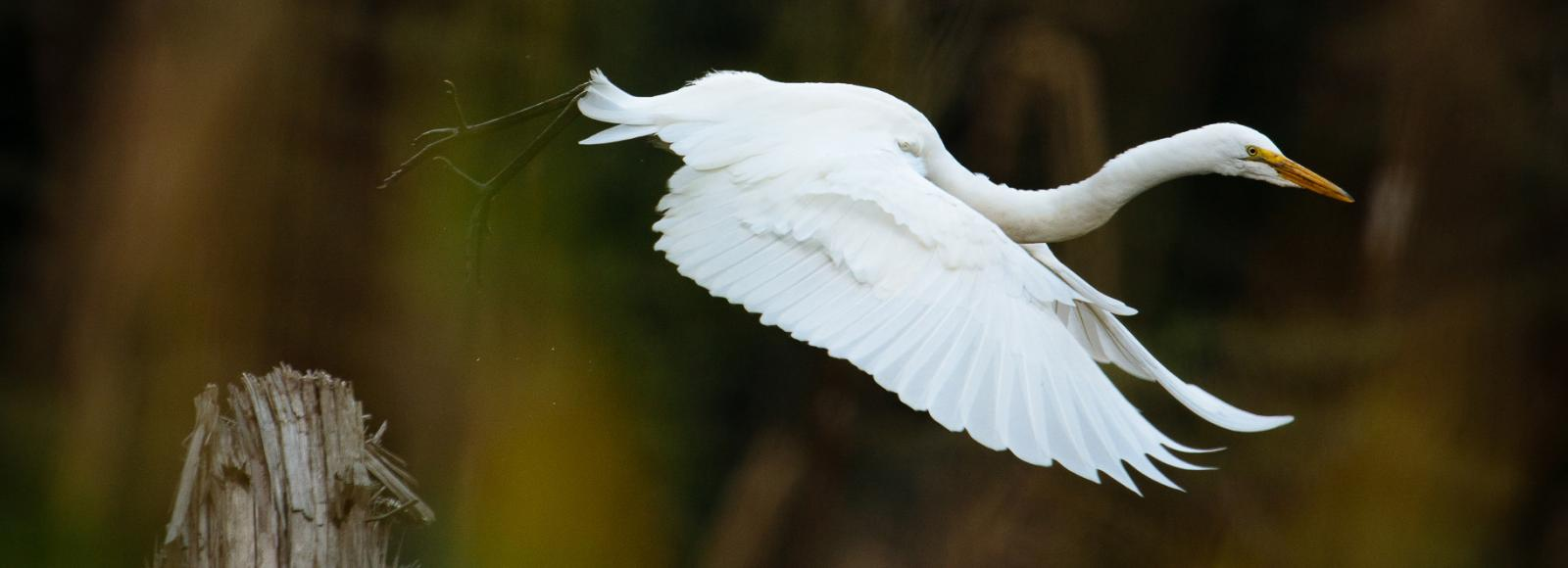 A Great Egret, a large white bird, takes flight