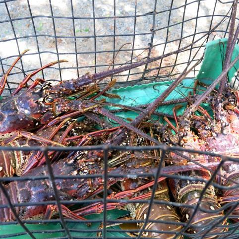 a pile of spiny lobsters in a trap, close up, colorful, USVI