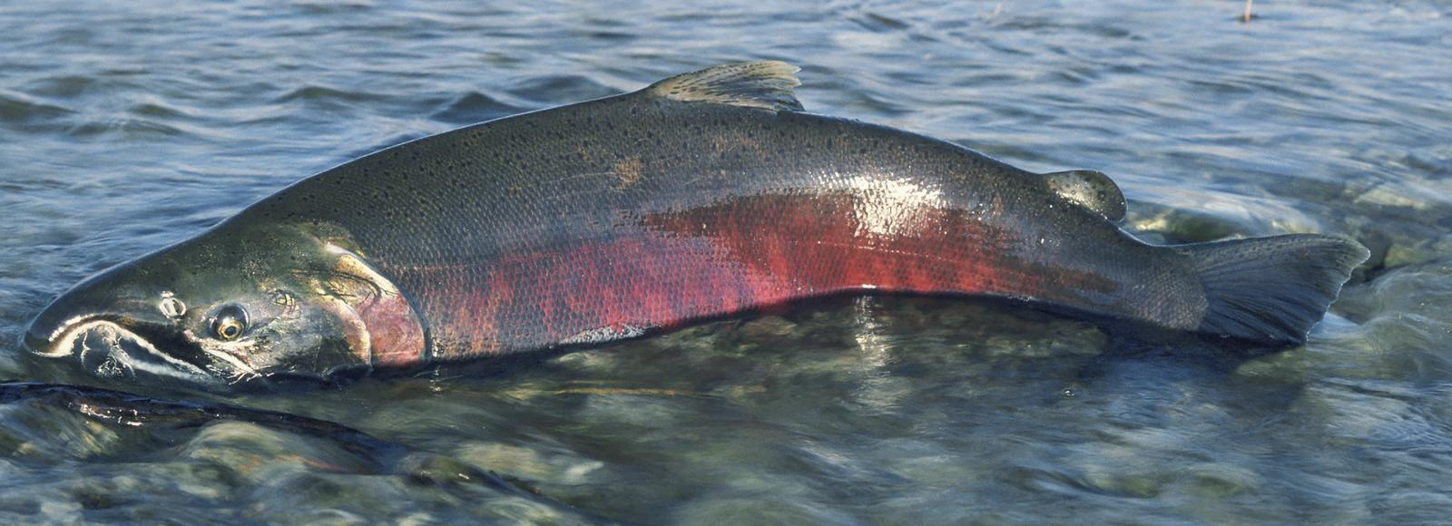 A Chinook salmon only half submerged in a shallow stream. The lower parts of the salmon are very red.