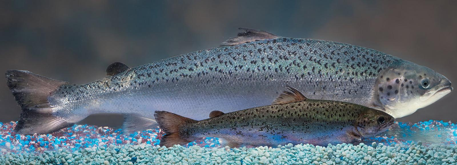 Two salmon, laterally parallel to each other, inside a tank (not visible). The fish in the back is almost three times the size of the fish in the front.