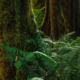 A forest floor thick with dark green fern