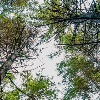 Looking up into a forest canopy.